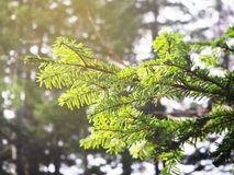 Green pine branch. In the forest, Japan Stock Photography