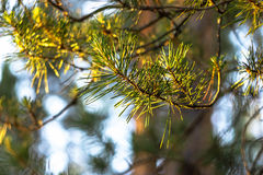 Green pine branch. In the forest on sunset Royalty Free Stock Images