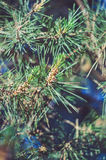 Green pine branch. In the forest on sunset Stock Photos