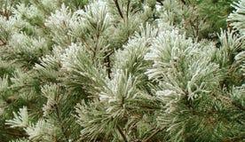 Green pine branch Stock Photos