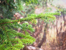 Green pine branch. In the forest, Japan Stock Image