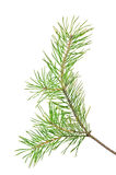 Green pine branch isolated on white. Background Stock Image