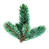 Green pine branch isolated on white background. Fir tree branch royalty free stock photos