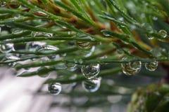 Green pine branch Royalty Free Stock Photos