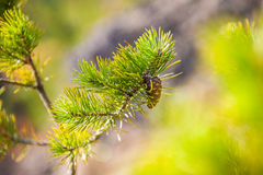 Green pine branch. Small depth of sharpness Royalty Free Stock Photos