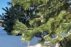 Green pine branch in the snow and icicles. stock photography