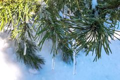 Green pine branch in the snow and icicles. stock images