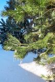 Green pine branch in the snow and icicles, vertical layout. royalty free stock photos