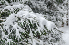 Green pine branch tree covered with snow and ice Royalty Free Stock Photography