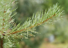 Green pine branch with water drops closeup Royalty Free Stock Image