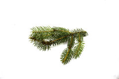 Green pine branch on a white background.  Royalty Free Stock Image