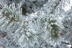 Green pine branch in winter season. Green pine branch with white frost Stock Images