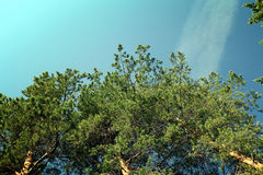 Green pine branches against sky Royalty Free Stock Images