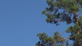 Green pine branches on the background of blue sky. Green pine branches against the blue sky. Natural background stock video
