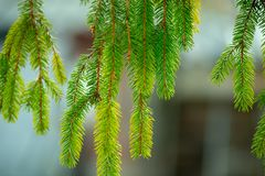 Green pine branches for background. With green pine hanging branches with needles royalty free stock photography