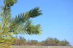 Green pine branches in the blue sky. Forest, Sunny day. Green pine branches in the blue sky. In the background a pine forest and a glade royalty free stock images