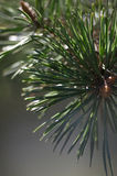 Green pine branches Stock Image