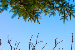 Green pine and branches without leaves against sky Stock Image