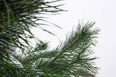 Green pine branches Stock Photography