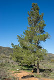 Green Pine in California Hills Stock Images