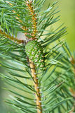 Green pine cone Stock Photo