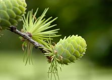 Green Pine cone Royalty Free Stock Photography