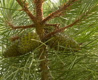 Green pine cone Stock Photography