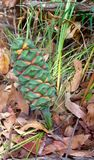 Green pine cone Stock Images
