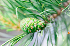Green pine cone tree. Young pine cone on green coniferous tree growing Royalty Free Stock Photos