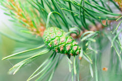 Green pine cone tree. Young pine cone on green coniferous tree growing Stock Photography