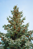 Green pine with cones Royalty Free Stock Images