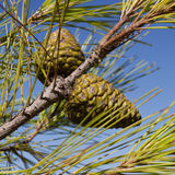 Green pine cones Royalty Free Stock Photography