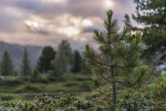 Green pine, Dolomites, Veneto, Italy Royalty Free Stock Photo