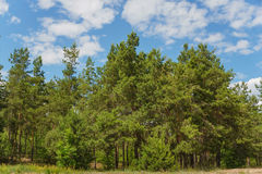 Green pine forest Royalty Free Stock Photos