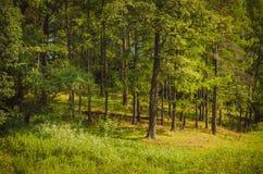 Green pine forest daylight summer. Green pine forest with grass and flowers daylight summer Stock Photography