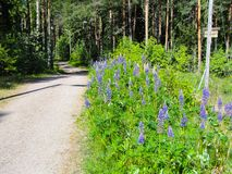 Wild Lupins Lupinus polyphyllus by a touristic path in forest in Finland royalty free stock photography