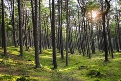 Green pine forest with ray of light Stock Photos