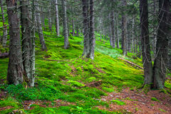 Green pine forest Stock Photo