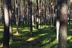 Green pine forest during a summer day Stock Photo