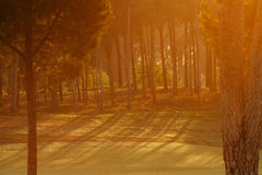 Green pine forest Stock Photos