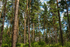 Green pine forest with tall trees Royalty Free Stock Photo