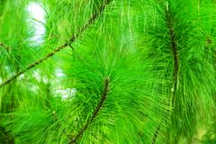 Green pine leaf texture and background Royalty Free Stock Photography
