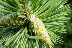 Green pine leafs royalty free stock photo