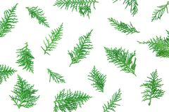 Fresh green pine leaves , Oriental Arborvitae, Thuja orientalis also known as Platycladus orientalis leaf texture background fo Stock Photos