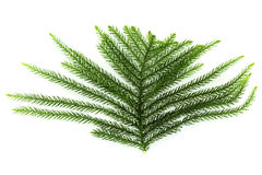 Green pine leaves. On white background Stock Photos