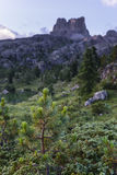 Green pine with mount Averau on the background, Falzarego pass, Dolomites, Italy Stock Images