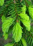 Green pine needles Royalty Free Stock Images