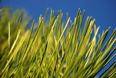 Green pine needles. With the sky in the background stock photos