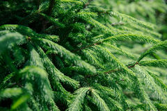 Green pine needles. Beautiful and green pine needles close up Stock Images