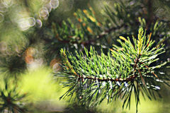 Green pine needles branch Stock Image